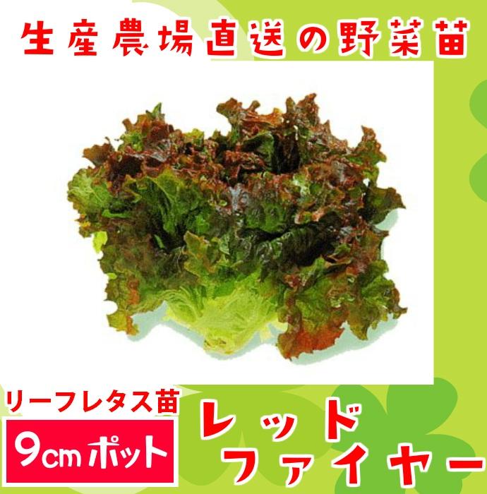 【生産農場直送】リーフレタス苗 レッドファイヤー 9�ポット 葉菜苗 【人気】