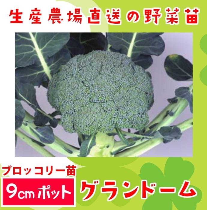 【生産農場直送】ブロッコリー苗 グランドーム 9�ポット 葉菜苗 【人気】
