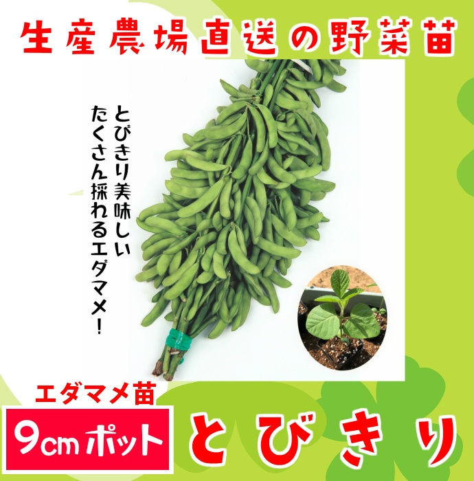 【てしまの苗】エダマメ苗 とびきり 実生苗 9cmポット 【人気】