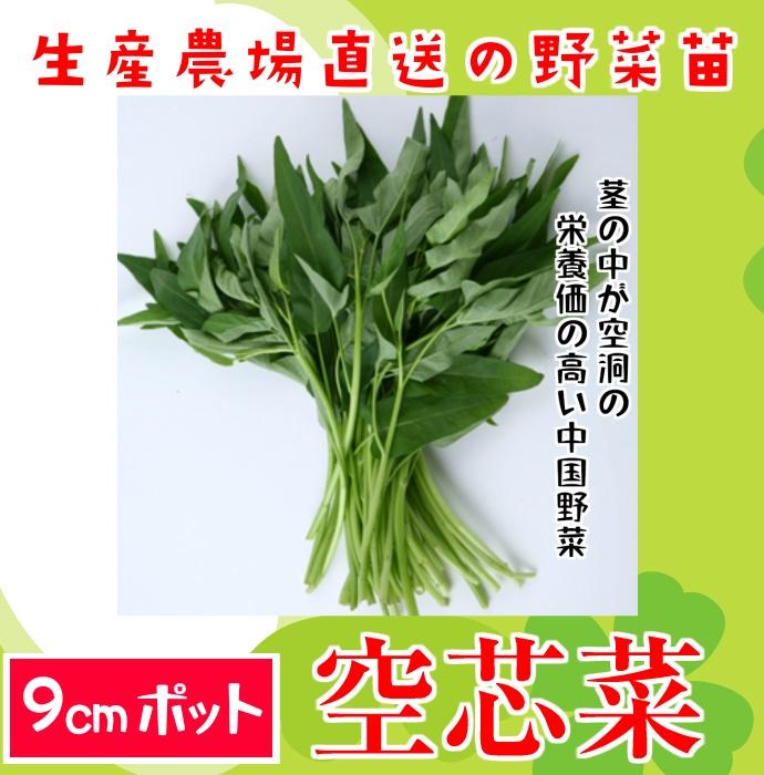 【てしまの苗】空芯菜 クウシンサイ エンサイ 実生苗 9cmポット 【人気】