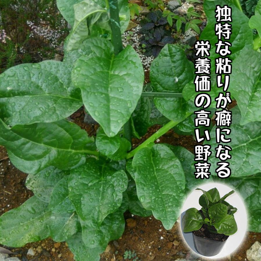 【てしまの苗】つるむらさき ツルムラサキ 実生苗 9cmポット 【人気】