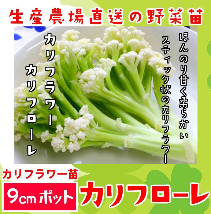 【てしまの苗】 カリフラワー カリフローレ 実生苗 9cmポット 野菜苗 培土 種 堆肥 【人気】