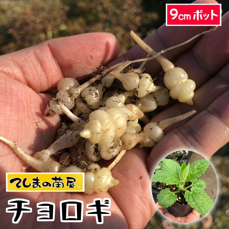 【てしまの苗】チョロギ 長老木 実生苗 9cmポット 【人気】