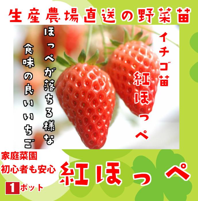 【てしまの苗】  紅ほっぺ 7.5-9cmポット 野菜苗 培土 種 堆肥 【人気】