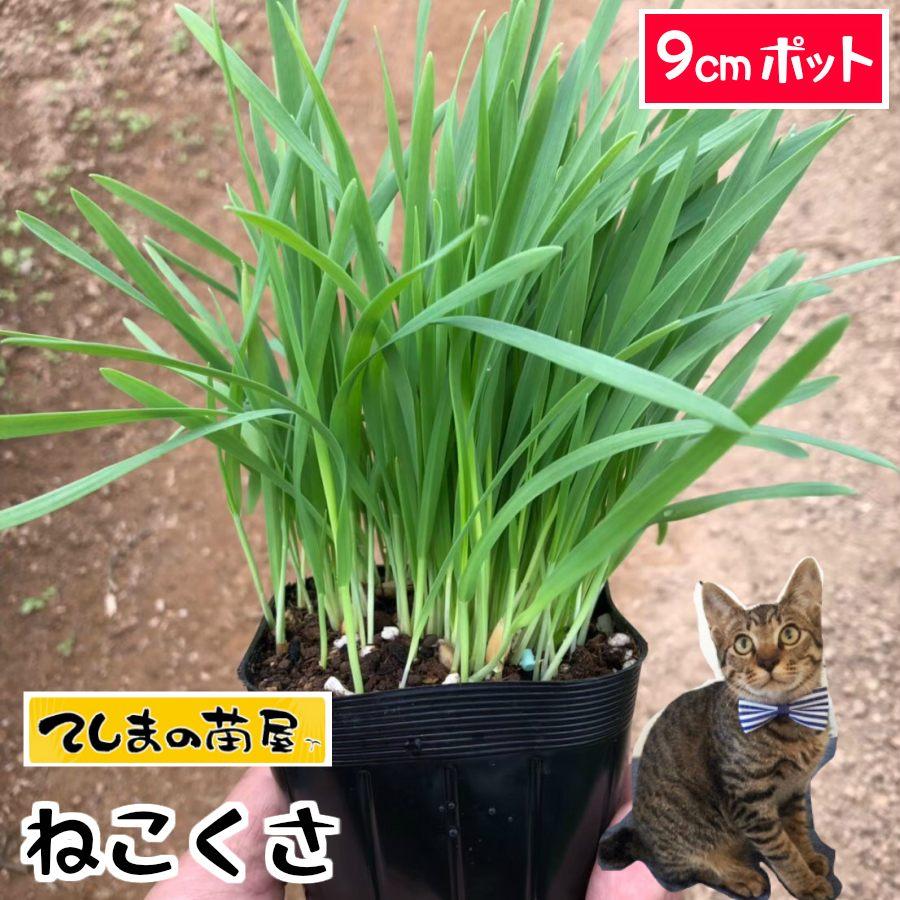【てしまの苗】ねこくさ 猫草 無農薬 観葉植物 9cmポット 【人気】