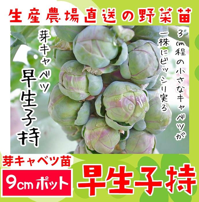 【てしまの苗】 芽キャベツ 早生子持 実生苗 9cmポット 野菜苗 培土 種 堆肥 【人気】