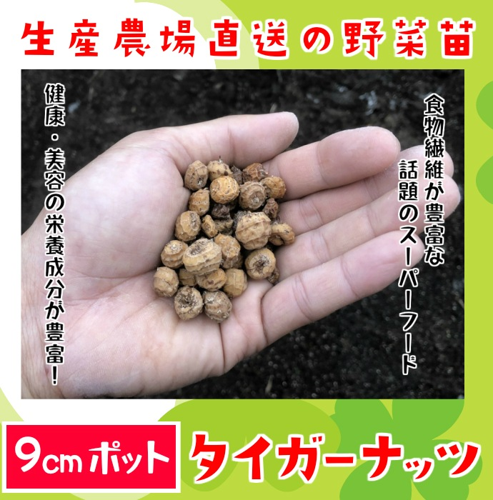 【てしまの苗】タイガーナッツ 実生苗 9cmポット 【人気】