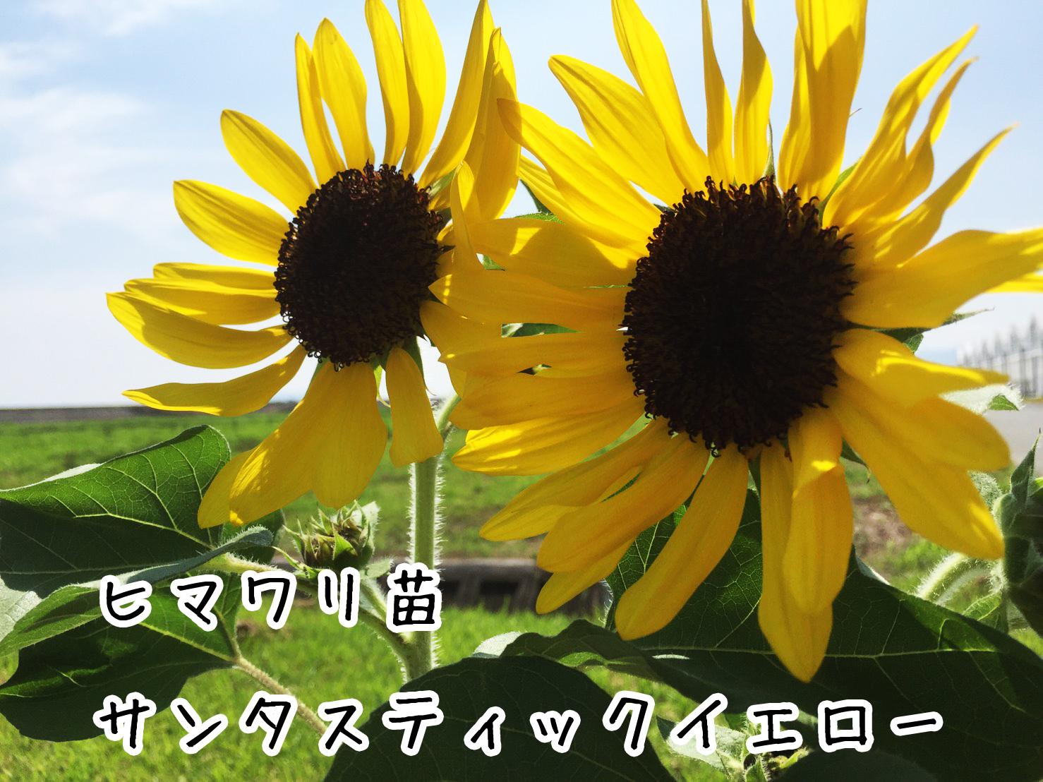 【ヒマワリ苗】 サンタスティックイエロー 10.5cmポット 【人気】