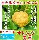 【てしまの苗】 カリフラワー苗 オレンジ美星 4株入りパック 葉菜苗 【人気】
