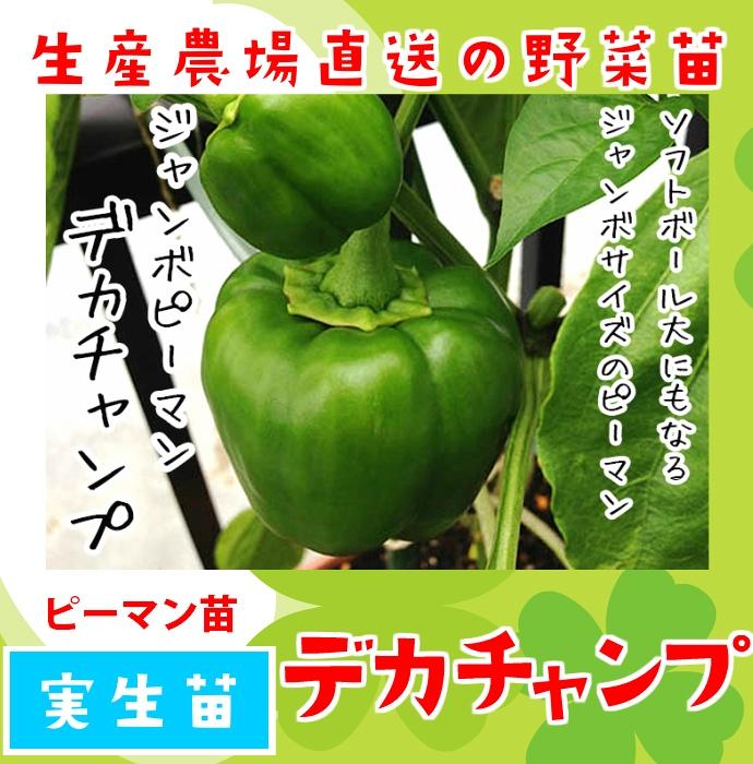 【てしまの苗】  ピーマン デカチャンプ 実生苗 9cmポット 野菜苗 培土 種 堆肥 【人気】