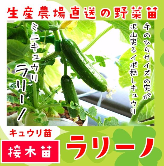 【てしまの苗】 キュウリ ラリーノ 断根接木苗 9cmポット 野菜苗 培土 種 堆肥 【人気】