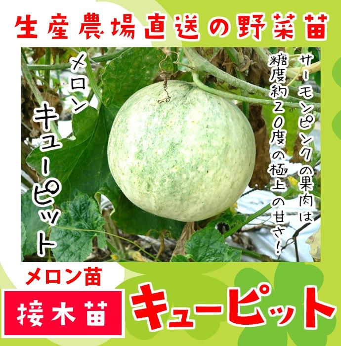 【てしまの苗】 メロン苗 キューピット 断根接木苗 9cmポット 野菜苗 培土 種 堆肥 【人気】