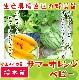 【てしまの苗】 小玉スイカ サマーオレンジベビー 断根接木苗 9cmポット 野菜苗 培土 種 堆肥 【人気】