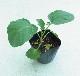 【てしまの苗】 ブロッコリー苗 おはよう 9cmポット 野菜苗 培土 種 堆肥 【人気】 葉菜苗 【人気】