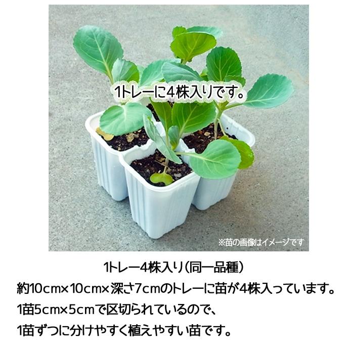 【てしまの苗】 ミニハクサイ苗 娃々菜  4株入りパック 白菜 葉菜苗 【人気】