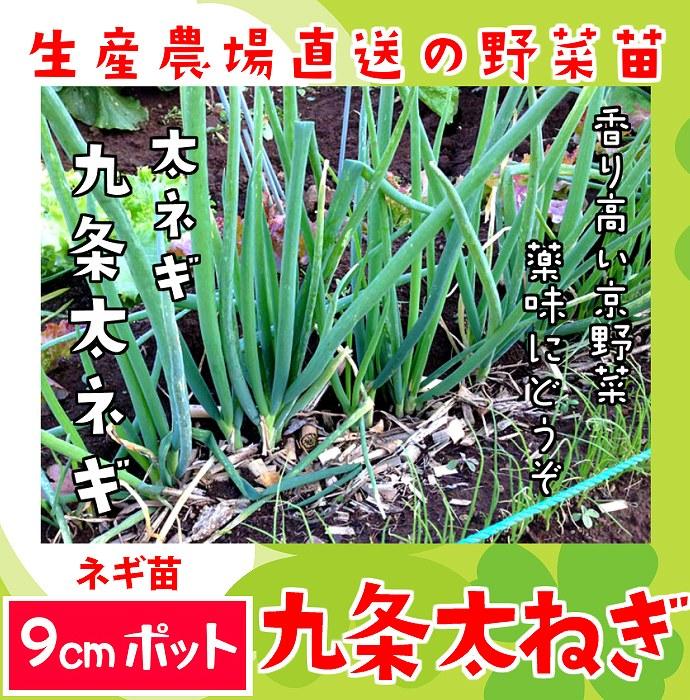 【てしまの苗】 ネギ苗 九条太ねぎ 実生苗 9cmポット 野菜苗 培土 種 堆肥 【人気】