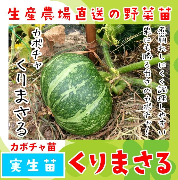 【てしまの苗】 カボチャ苗 くりまさる 実生苗 9cmポット 野菜苗 培土 種 堆肥 【人気】