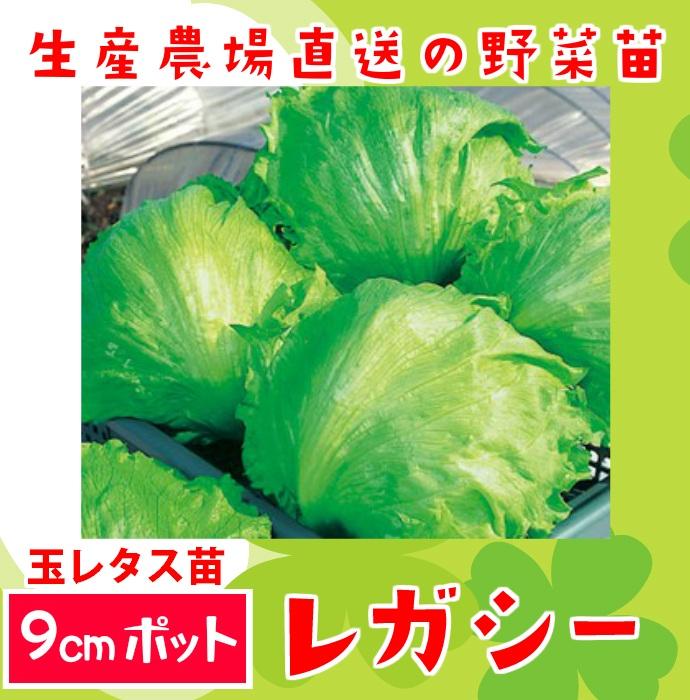 【てしまの苗】レタス苗 レガシー 9�ポット 葉菜苗  【人気】