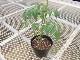 【てしまの苗】 ミニトマト キャロルパッション 断根接木苗 9cmポット 野菜苗 培土 種 堆肥 【人気】