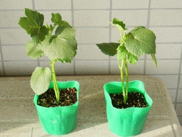 【てしまの苗】 オクラ苗 ピークファイブ 実生苗 9cmポット 野菜苗 培土 種 堆肥 【人気】