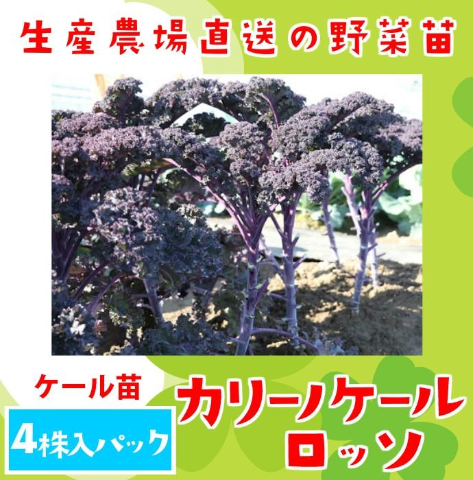 【てしまの苗】ケール苗 カリーノケールロッソ 4株入りパック 葉菜苗  【人気】