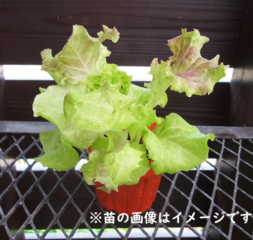 【てしまの苗】ベビーリーフ苗 レタスミックス 9�ポット 葉菜苗  【人気】