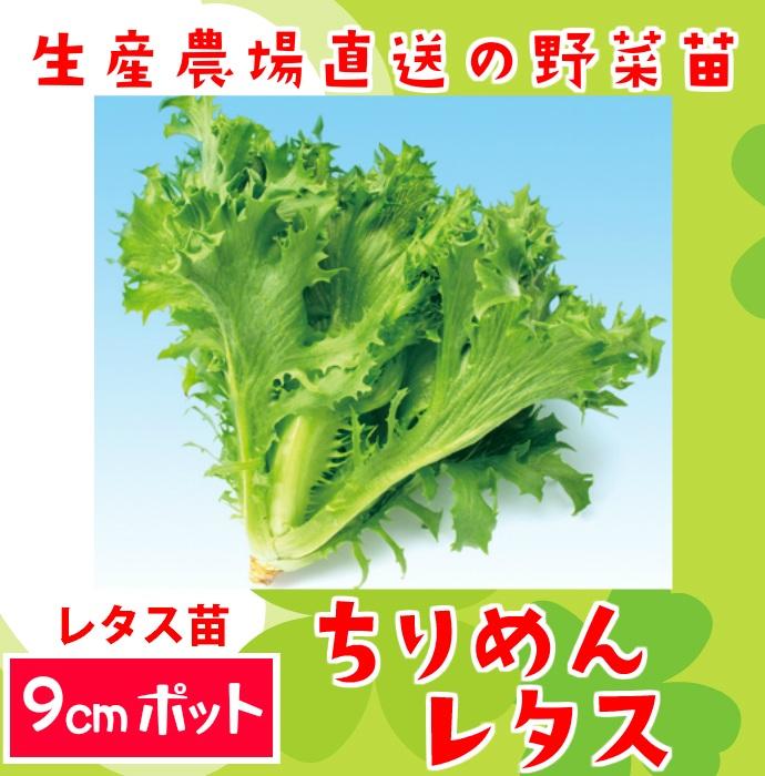【てしまの苗】レタス苗 ちりめんレタス 9cmポット 葉菜苗  【人気】
