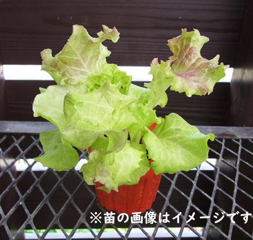 【てしまの苗】レタス苗 フリルレタス 9�ポット 葉菜苗  【人気】