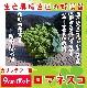 【てしまの苗】 カリフラワー苗 ロマネスコ 9cmポット 野菜苗 培土 種 堆肥 【人気】 葉菜苗 【人気】