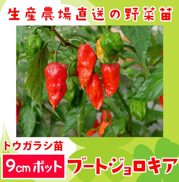 【てしまの苗】 トウガラシ苗 ブートジョロキア  実生苗 9�ポット