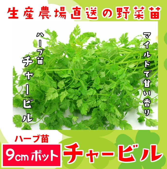 【てしまの苗】ハーブ苗 チャービル 実生苗 9cmポット 野菜苗 培土 種 堆肥 【人気】