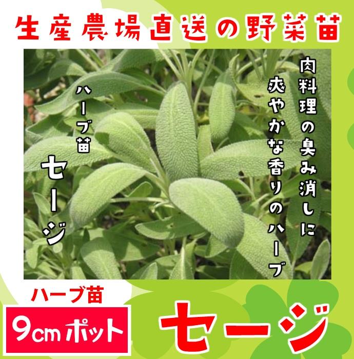 【てしまの苗】ハーブ苗 セージ 実生苗 9cmポット 野菜苗 培土 種 堆肥 【人気】