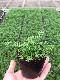 【てしまの苗】ハーブ苗 ジャーマンカモミール 実生苗 9cmポット 野菜苗 培土 種 堆肥 【人気】