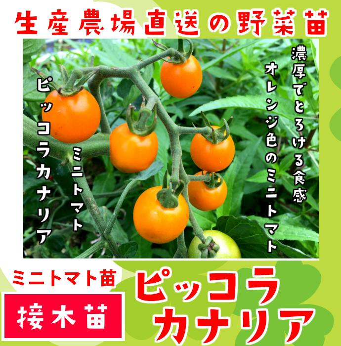 【てしまの苗】 ミニトマト ピッコラカナリア 断根接木苗 9cmポット 野菜苗 培土 種 堆肥 【人気】