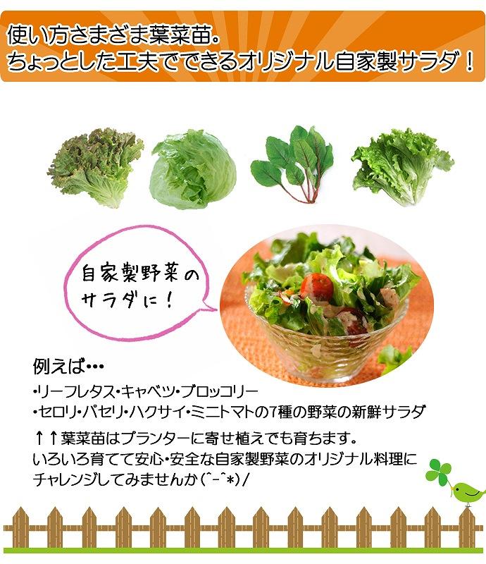 【てしまの苗】 ミズナ苗 紅法師 4株入りパック 葉菜苗 【人気】