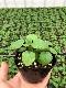 【てしまの苗】ハーブ苗 レモンバーム 実生苗 9cmポット 野菜苗 培土 種 堆肥 【人気】