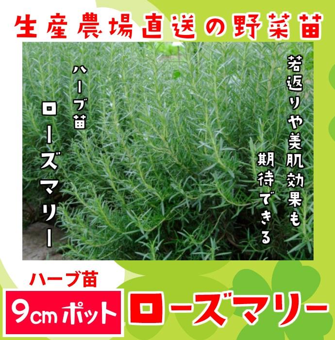 【てしまの苗】ハーブ苗 ローズマリー 実生苗 9cmポット 野菜苗 培土 種 堆肥 【人気】