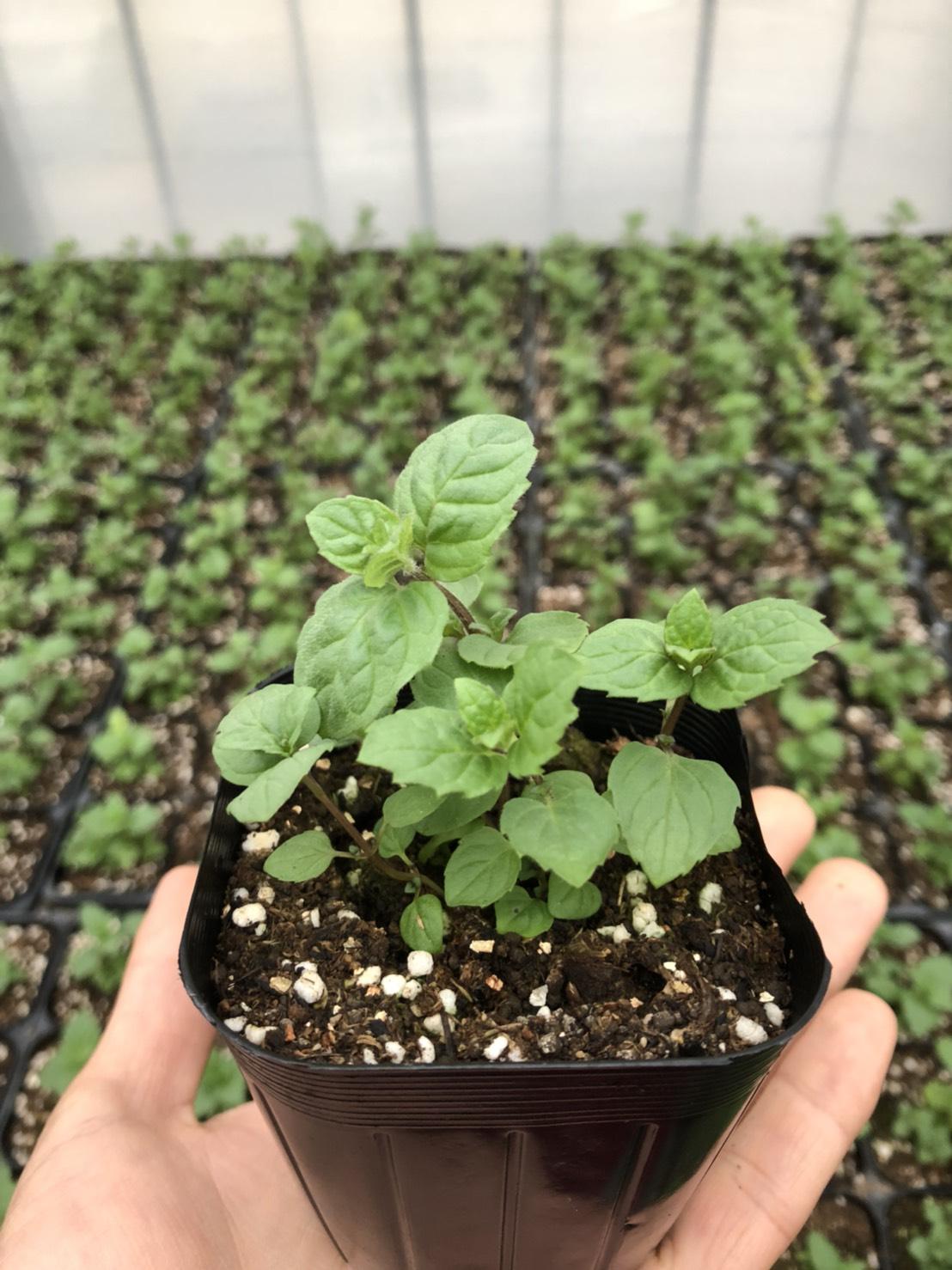 【てしまの苗】ハーブ苗 ペパーミント 実生苗 9cmポット 野菜苗 培土 種 堆肥 【人気】