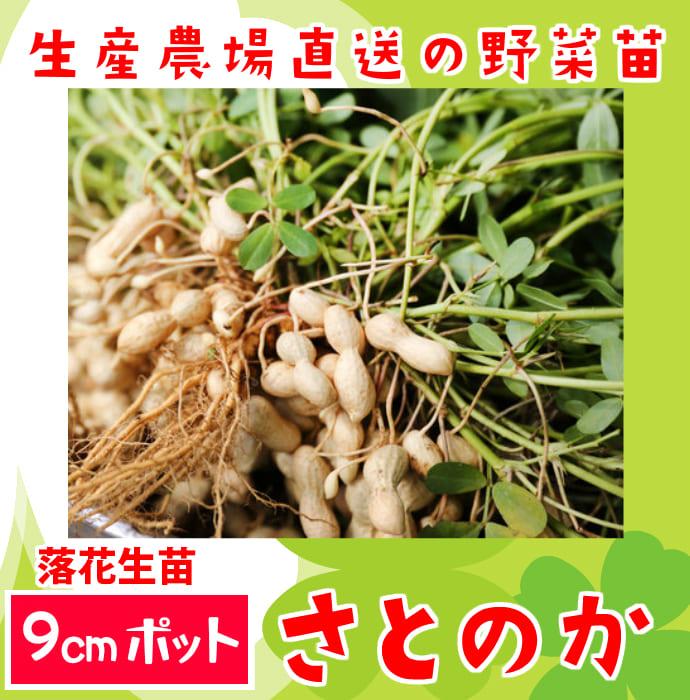 【てしまの苗】 ラッカセイ苗 さとのか  落花生 実生苗 9�ポット