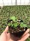 【てしまの苗】ハーブ苗 ワイルドストロベリー 実生苗 9cmポット 野菜苗 培土 種 堆肥 【人気】