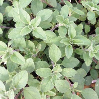 【てしまの苗】ハーブ苗 オレガノ 実生苗 9cmポット 野菜苗 培土 種 堆肥 【人気】