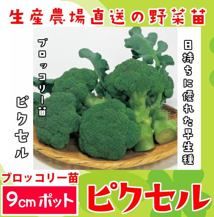 【てしまの苗】 ブロッコリー苗 ピクセル 葉菜苗 9cmポット 野菜苗 培土 種 堆肥 【人気】