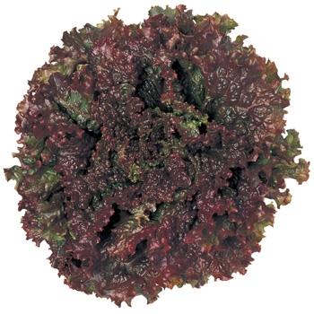 【てしまの苗】 レタス苗 挽軸 レッドファイヤー 葉菜苗 9cmポット 野菜苗 培土 種 堆肥 【人気】