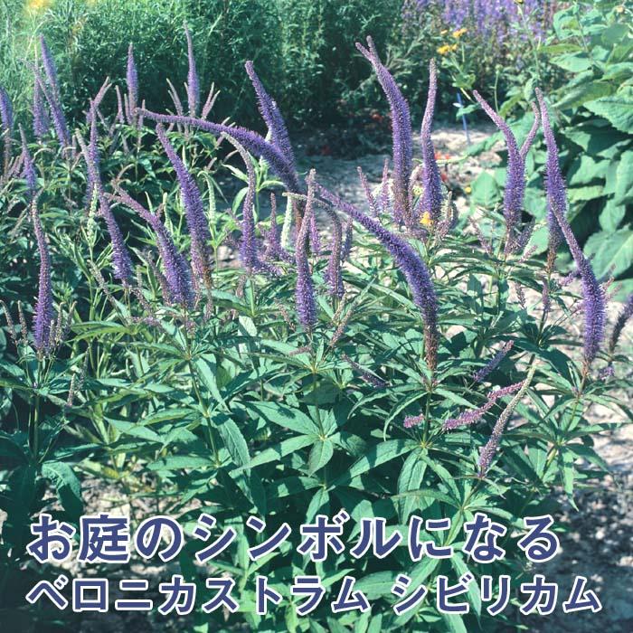 宿根草苗 ベロニカストラム シビリカム 草丈の高い 9cmロングポット 10月中下旬より順次発送