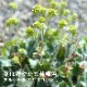 予約商品 宿根草苗 アルケミラ エリスロポダ バラに合う 9cmロングポット 10月中下旬より順次発送