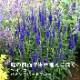 予約商品 宿根草苗 ベロニカ ハミングバードブルー バラに合う 9cmロングポット (登録品種) 10月中下旬より順次発送