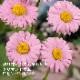 予約商品 宿根草苗 クリサンセマム ロビンソンピンク バラに合う 9cmロングポット 10月中下旬より順次発送