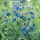 予約商品 宿根草苗 アンチューサ アズレア 草丈の高い 9cmロングポット 10月中下旬より順次発送