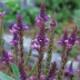 宿根草苗 バーベイン ハスタータブルー 草丈の高い 9cmロングポット 10月中下旬より順次発送