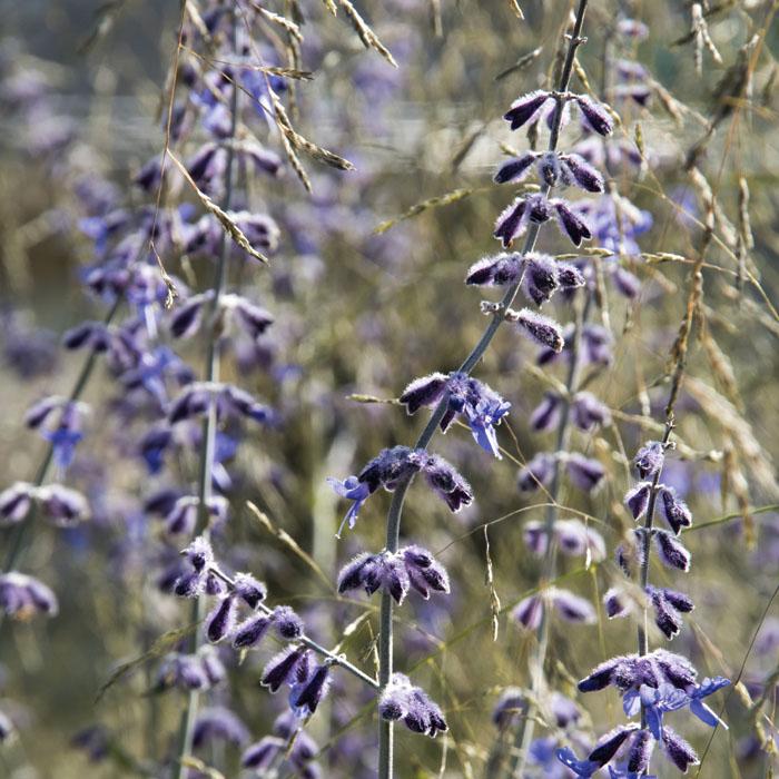 宿根草苗 ペロブスキア タイガ 草丈の高い 9cmロングポット 10月中下旬より順次発送